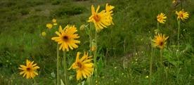 Rastišče ogrožene visokogorske flore